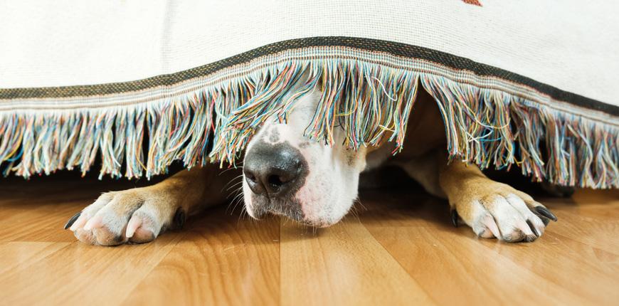 Como calmar el miedo de tu perro a los petardos