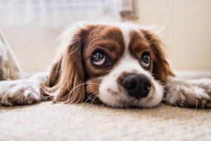 Venta de perros en Murcia