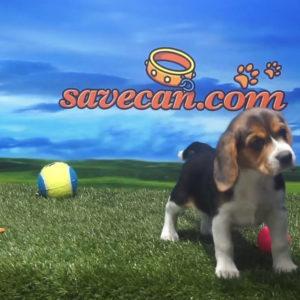 Beagle hembra