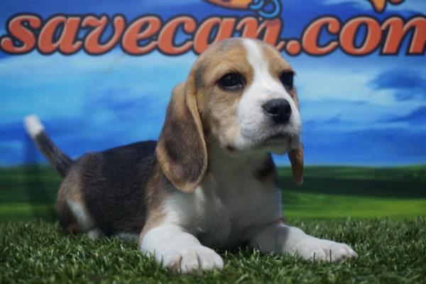 Beagle hembra tricolor