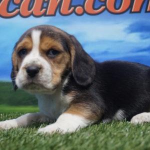 Beagle macho nacional