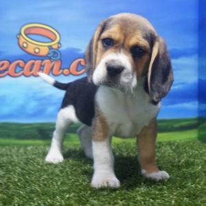 Beagle macho tricolor