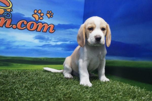 Beagle macho bicolor