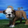 Bulldog Inglés macho