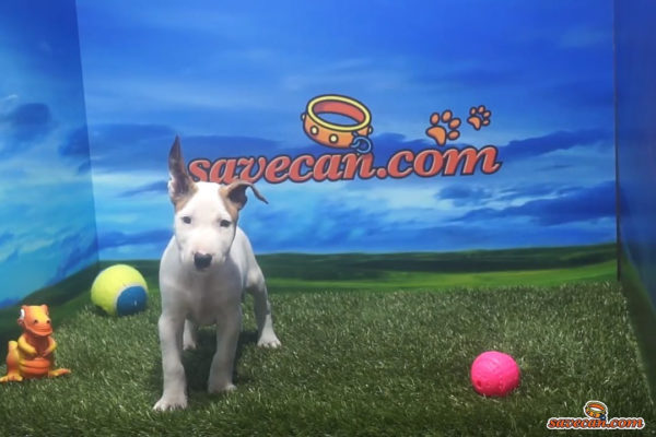 Bull Terrier macho