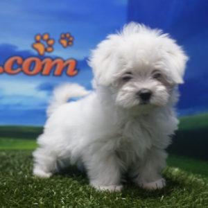 Cachorro de Bichón Maltés hembra1