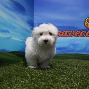 Precioso cachorro Bichón Maltés macho