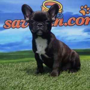 Bulldog Francés macho