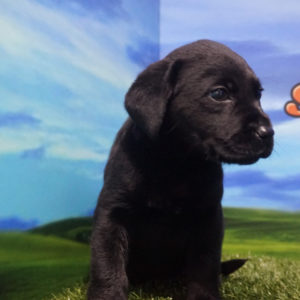 Labrador Retriever hembra negra