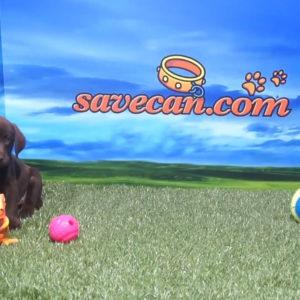 Labrador Retriever hembra chocolate