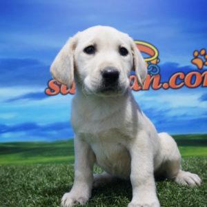 Labrador Retriever macho