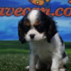 Cavalier King Charles macho