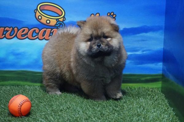 Chow Chow macho