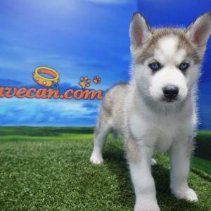 Siberian Husky macho