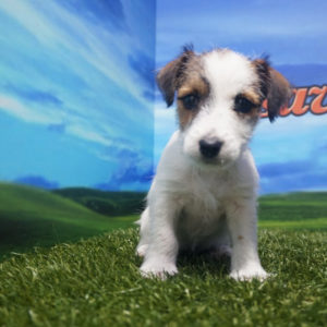 Jack Russell hembra